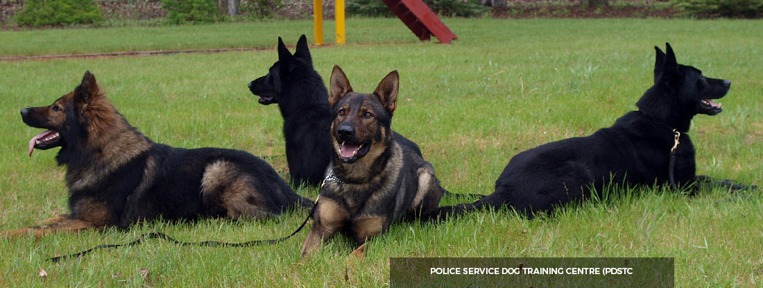 Ned's Wish German Shepherds Dogs